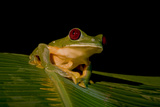 Gliding Tree Frog Mated Pair Is in Amplexus. Monteverde, Costa Rica Photographic Print by Thomas Wiewandt