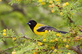 Santa Clara Ranch, Starr County, Texas. Audubons Oriole Perched Photographie par Larry Ditto