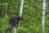 Minnesota, Sandstone, Black Bear Cub on Tree Stump Photographic Print by Rona Schwarz
