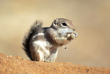 Harriss Antelope Squirrel Is a Rodent Found in Arizona and New Mexico Photographic Print by Richard Wright
