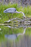 Wyoming, Grand Teton National Park, Great Blue Heron Hunting Along Shore of Pond Photographic Print by Elizabeth Boehm