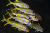 School of Yellow Goatfish. Curacao, Netherlands Antilles Photographic Print by Barry Brown