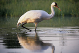 Whooping Crane Hunting in a Pond, Baraboo, Wisconsin Photographic Print by Thomas Wiewandt