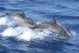 Pod of Pantropical Spotted Dolphins. Curacao, Netherlands Antilles Photographic Print by Barry Brown