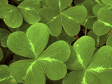 USA, California, Muir Woods. Close Up of Clover Photographic Print by Jaynes Gallery