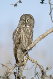 USA, Wyoming, Portrait of Great Gray Owl on Branch Photographic Print by Elizabeth Boehm