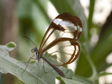 Glasswing Butterfly. Indoor Butterfly Exhibit, Monteverde, Costa Rica Photographic Print by Thomas Wiewandt
