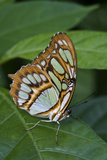 The Malachite Butterfly. La Finca De Mariposas, Alajuela, Costa Rica Photographic Print by Thomas Wiewandt