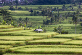 Jatiluwih, Bali, Indonesia. Terraced Rice Fields Photographic Print by Charles Cecil