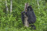 Minnesota, Sandstone, Black Bear Cub with Mother Climbing Tree Trunk Photographic Print by Rona Schwarz