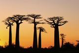 Anthony Asael - Madagascar, Morondava, Baobab Alley, Adansonia Grandidieri at Sunset Fotografická reprodukce