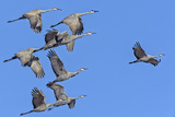 Sandhill Cranes in Flight, Goose Pond Wildlife Area, Linton, Indiana Photographic Print by Rona Schwarz