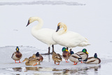 Wyoming, National Elk Refuge, Trumpeter Swan Pair and Mallards Impressão fotográfica por Elizabeth Boehm