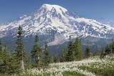 Washington, Mount Rainier National Park. Avalanche Lilies and Mount Rainier Fotografisk tryk af Jaynes Gallery