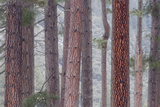 USA, California, Yosemite National Park. Pine Trees in Fog Photographic Print by Jaynes Gallery