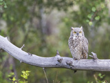 USA, Wyoming, Great Horned Owl Roosting on Log Photographic Print by Elizabeth Boehm