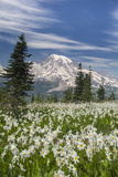 Washington, Mount Rainier National Park. Avalanche Lilies and Mount Rainier Photographic Print by Jaynes Gallery