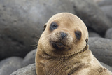 South America, Ecuador, Galapagos Islands. Portrait of Sea Lion Pup Photographic Print by Jaynes Gallery