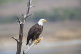 Wyoming, Sublette County, Bald Eagle Roosting on Snag Photographic Print by Elizabeth Boehm