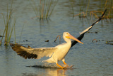 White Pelican Landing, Viera Wetlands, Florida Photographic Print by Maresa Pryor