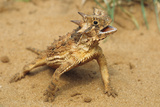 Thermoregulation by a Texas Horned Lizard, Rio Grande Valley, Texas Photographic Print by Thomas Wiewandt