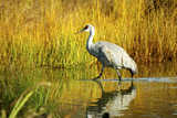 Sandhill Crane, Grus Canadensis, Stalking in Marsh Photographic Print by Richard Wright