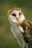 USA, Colorado, Broomfield. Barn Owl at Birds of Prey Foundation Photographic Print by Jaynes Gallery