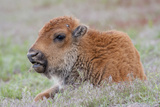USA, Wyoming, Yellowstone National Park, Bison Calf Resting and Chewing Grasses Photographic Print by Elizabeth Boehm