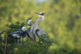 Florida, Venice, Great Blue Herons and Juveniles Feeding Time at Nest Photographic Print by Bernard Friel