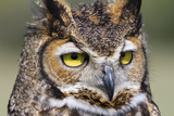 Kendall County, Texas. Great Horned Owl Head Shot. Captive Animal Photographic Print by Larry Ditto
