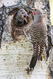 Wyoming, Northern Flicker Feeding Chick at Cavity Nest in Aspen Tree Photographic Print by Elizabeth Boehm