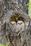 Wyoming, Grand Teton National Park, Great Horned Owlets in Nest Cavity Photographic Print by Elizabeth Boehm