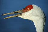 Sandhill Crane, Grus Canadensis with Beak Open in Call Photographic Print by Richard Wright
