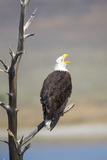 Wyoming, Sublette County, Bald Eagle Calling from Snag Photographic Print by Elizabeth Boehm