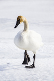 Wyoming, National Elk Refuge, Trumpeter Swan Walking on Snowy Ice Impressão fotográfica por Elizabeth Boehm