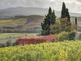 Italy, Tuscany. Autumn Ivy Covering a Building in a Vineyard Fotografisk tryk af Julie Eggers