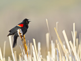 USA, Wyoming, Male Red Winged Blackbird Singing on Cattail Stalk Photographic Print by Elizabeth Boehm
