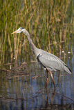 Great Blue Heron on the Prowl in the Reeds Photographic Print by Michael Qualls