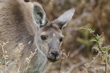 Western Australia, Perth, Yanchep National Park. Western Gray Kangaroo Close Up Photographic Print by Cindy Miller Hopkins