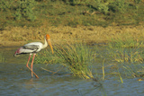 Painted Stork Stalks Prey. Yala National Park, Sri Lanka Photographic Print by Thomas Wiewandt