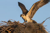 Juvenile Osprey Testing Wings, Flamingo, Everglades National Park, Florida Photographic Print by Maresa Pryor
