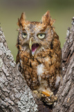 Kendall County, Texas. Eastern Screech Owl Red Morph. Captive Animal Reproduction photographique par Larry Ditto