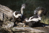 USA, Montana, Kalispell. Skunks Eating Egg at Triple D Game Farm Photographic Print by Jaynes Gallery