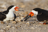 Port Isabel, Texas. Black Skimmer Adult Feeding Young Photographic Print by Larry Ditto