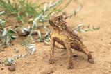 Thermoregulation by a Texas Horned Lizard. Rio Grande Valley, Texas Reproduction photographique par Thomas Wiewandt