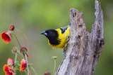 Santa Clara Ranch, Starr County, Texas. Audubons Oriole Perched Photographic Print by Larry Ditto