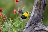 Santa Clara Ranch, Starr County, Texas. Audubons Oriole Reproduction photographique par Larry Ditto