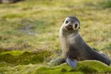 South Georgia. Antarctic Fur Seal, Arctocephalus Gazella, Pup Fotografisk tryk af Inger Hogstrom