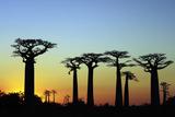 Madagascar, Morondava, Baobab Alley, Adansonia Grandidieri at Sunset Fotografisk tryk af Anthony Asael