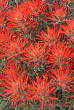 Wyoming, Lincoln County, Desert Paintbrush Close Up of Flowers Photographic Print by Elizabeth Boehm